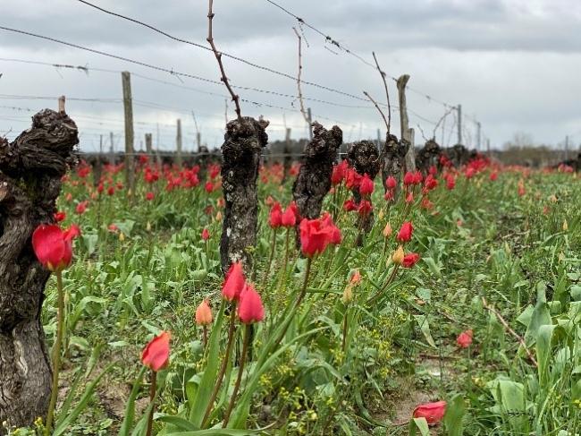 春になると見えてくるボルドーにおける草生栽培